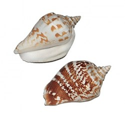 strombus--marginatus-robustus-shell